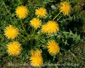 Diente de león-Taraxacum officinalis