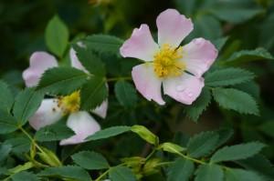 rosas-silvestres-rosa-canina